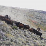 Herding cattle in Neuquen