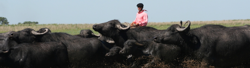 Herding buffalo in Corrientes
