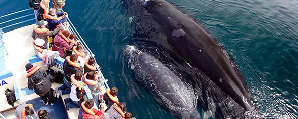 whale watching in argentina