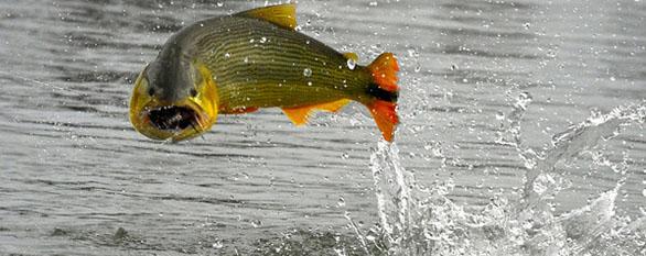 The golden dorado travel blog macdermott 39 s argentina for Golden dorado fish