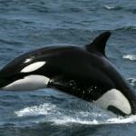 Killer whales, Peninsula Valdes