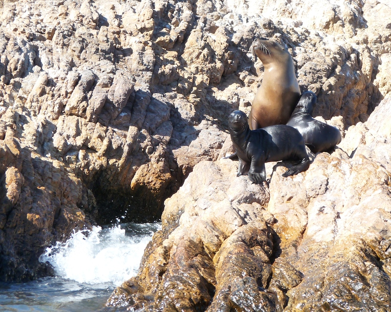 Patagonian Sea Lion - mother and pups